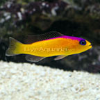 Purple Stripe Pseudochromis