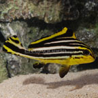 Indian Ocean Yellow Striped Sweetlip