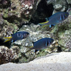 Lightning Double Bar Chromis
