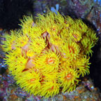 Tube Coral, Yellow
