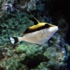 White Tip Triggerfish
