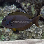 Thompson's Surgeonfish