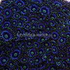 Colony Polyp, Purple Dragon