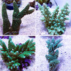 Branching Acropora Coral, Green