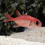 Big Eye Black Bar Soldierfish