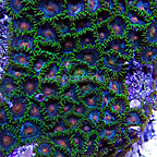 Colony Polyp,