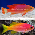 Pictilis Anthias