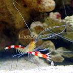 Banded Coral Shrimp, Yellow