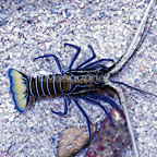 Spiny Lobster, Blue