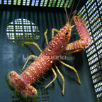 Reef Lobster, Red Hawaiian