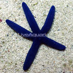 Linckia Sea Star, Blue
