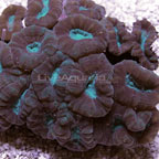 Big Pipe Trumpet Coral, Green