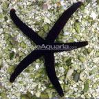 Burgundy Sea Star