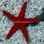 Red & Black Sea Star
