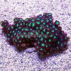 Blastomussa Coral - Aquacultured, USA