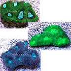 Goniastrea Coral - Aquacultured