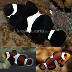 Black and White Percula Clownfish - Tank Bred