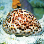Cowrie, Tiger