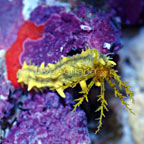 Sea Cucumber, Yellow