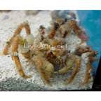 Spider Decorator Crab