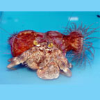 Hermit Crab with Anemone
