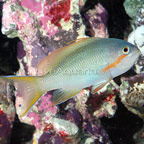 Huchtii Anthias