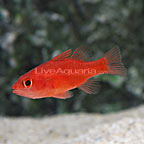 Red Stop Light Cardinalfish
