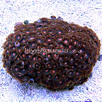 Colony Polyp, Orange Spot