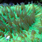 Plate Coral, Neon Green - Short Tentacle