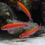 Slender Whitleyi Anthias
