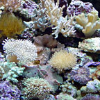 Nano Soft Coral Pack