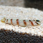 Diagonal Bar Prawn Goby