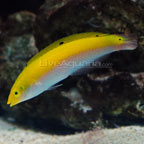 Yellow & Purple Wrasse