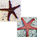 Indian Sea Star, Assorted