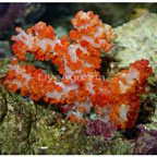 Carnation Tree Coral