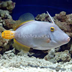 Clown Filefish