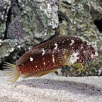 Starry Blenny