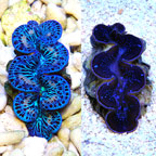 Maxima Clam Blue/Turquoise, Aquacultured