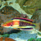 Girdled Fairy Wrasse