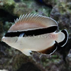 Black Bandit Angelfish