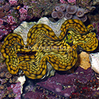 Squamosa Clam - Aquacultured