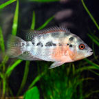 Red Star Flower Horn Cichlid