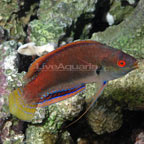 Fine Spotted Fairy Wrasse