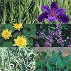 5x5 Hardy with Partial Shade Pond Plant Starter Pack