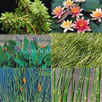 5x5 Hardy Cooler Climate Pond Plant Starter Pack