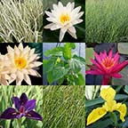 8 x 10 Hardy with Sun Pond Plant Variety Pack