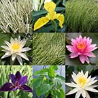 8 x 10 Hardy Full Sun Pond Plant Variety Pack