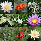8 x 10 Tropical Sun Pond Plant Variety Pack