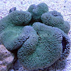 Haddon's Carpet Anemone, Assorted
