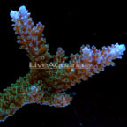 Stuber Acropora,  Aquacultured®